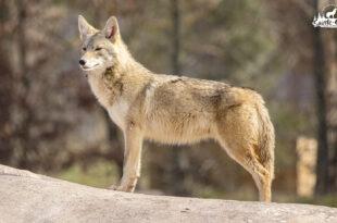 coyote-6_310x205_1x